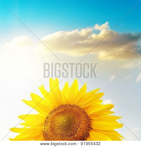 golden head of sunflower under sunset and blue sky with clouds