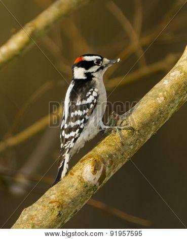Downy Wooodpecker