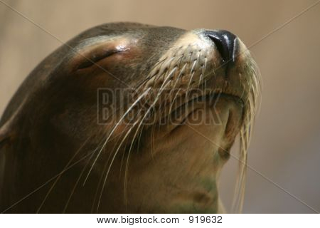 Sea Lion Basks In Morning Sun