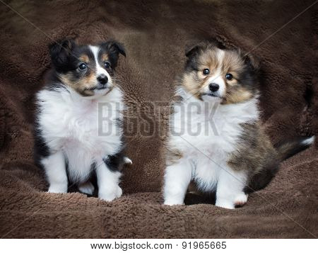 Couple Cute Sheltie Puppies