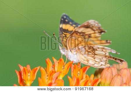 Small Butterfly On An Orange Milkweed Plant