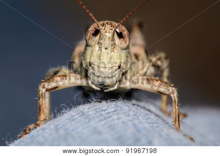 Grasshopper On Blue Jeans