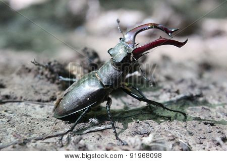 Stag beetle in the attacking position.