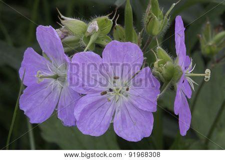 Wild Geranium Closeup
