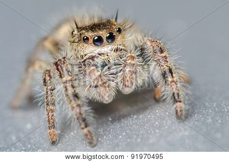 Jumping Spider On A Silver Surface