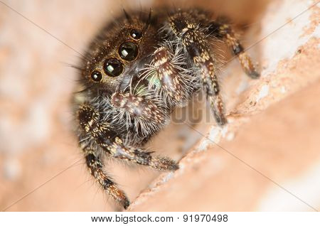 Front View Of A Cute Brown Jumping Spider