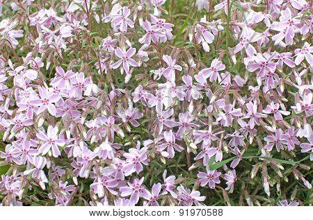 Pink bushy spring flowers