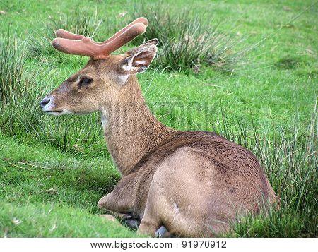Fawn fallow deer