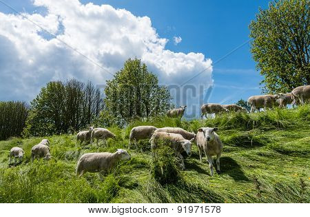 Curiously Looking And Grazing Sheep
