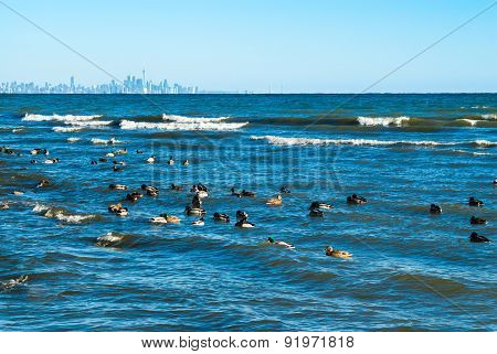 Waves Breaking On Lake With Ducks Floating Nearby And City In Distance.