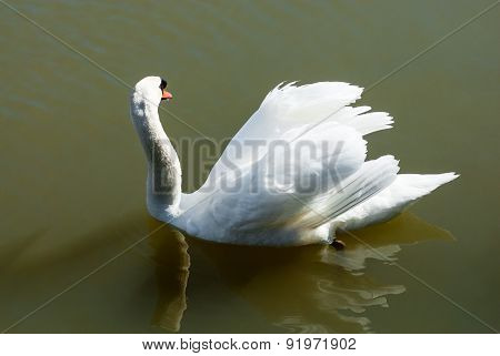 Mute Swan Looking Away Floating In Green Water.