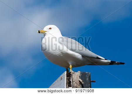 Seagull Perched Facing Left Against Cloud And Sky.