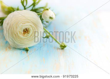 White ranunculus on vintage wooden background. soft focus