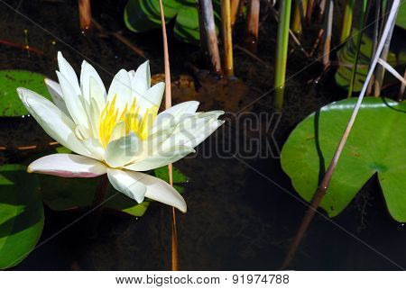Single White Water Lily (Nymphaeaceae)
