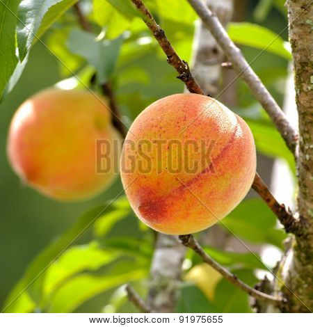 Square Image Of Peaches In Spring On Tree