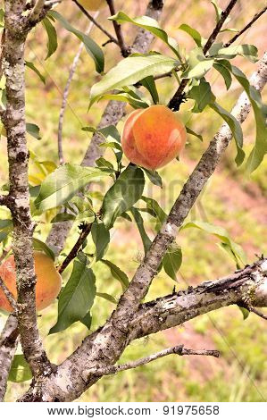 Peaches On Tree, Vertical