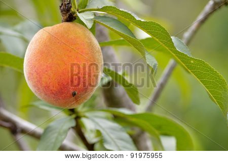 Peach Closeup On Tree
