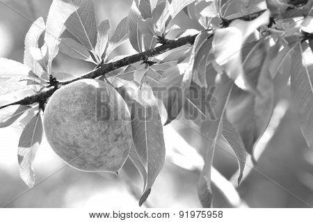 Peaches On Tree In Monochrome