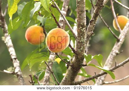 Peaches On Tree Ready To Harvest