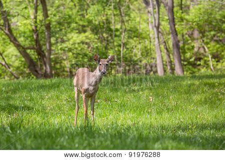 Young Deer In A Suburban Backyard