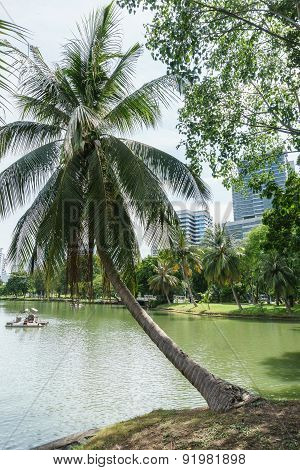 Coconut Tree On Lake's Edge In The Park, Bangkok Thailand
