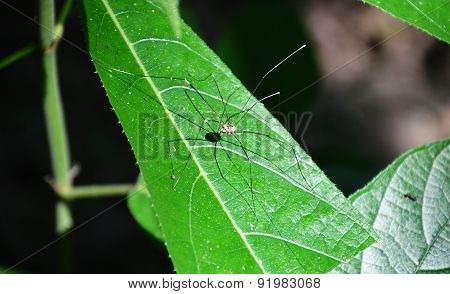long legs spider on the leaf