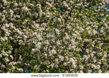 White Flowers Apple Tree Background