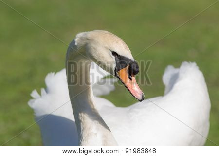 Portrait Of A White Swan