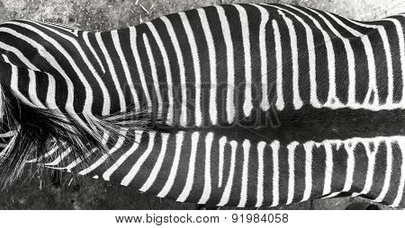 zebra skin/texture from the top