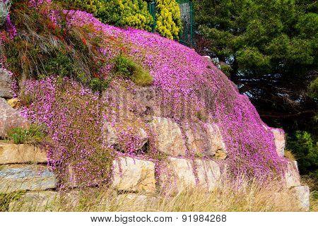 Carpet of purple flowers on rock