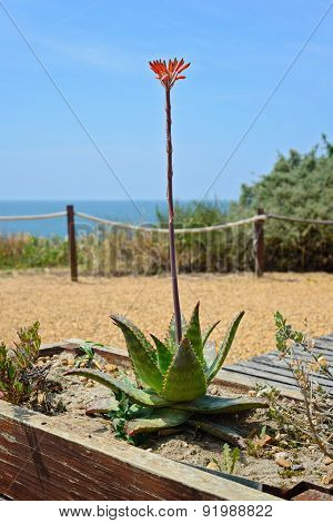 Aloe flower in Praia da Rocha, Portugal