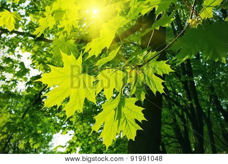 Beautiful Spring Leaves Of Maple Tree And Sunlight