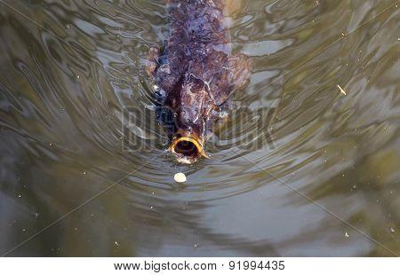 Carp Fish Gulping A Flower Petal.