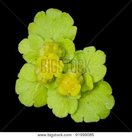 Blooming Golden Saxifrage