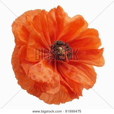 Poppy Blossom Isolated