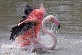 image of bathing  - A Chilean Flamingo is bathing in a pool - JPG