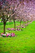 picture of row trees  - Pink cherry trees in a row alley - JPG