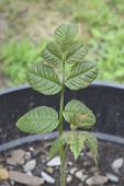 picture of walnut-tree  - A very young English walnut tree less than a foot tall - JPG