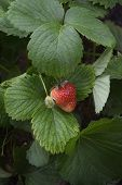 stock photo of strawberry plant  - A fresh strawberry plant bearing a ripe berry and forming a fresh green one - JPG