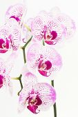 stock photo of moth  - Purple and white Moth orchids close up over white background - JPG
