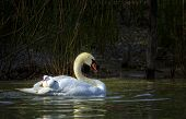 foto of mother baby nature  - Mute swan - JPG