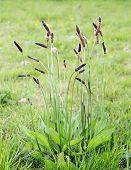 image of ribwort  - Ribwort Plantain  - JPG