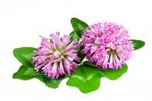 stock photo of red clover  - Red clover flower and leaves isolated on white background - JPG