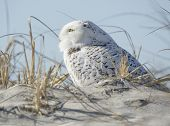 stock photo of snowbird  - A Snowy Owl sitting on a sand dune among sea grasses