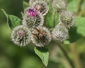 image of greater  - wasp on a blooming greater burdock macro with defocused background  - JPG