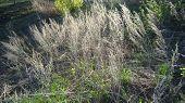 foto of sagebrush  - Stems of withered grass  - JPG