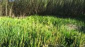 pic of marshes  - Snake grass meadow and marsh landscape - JPG