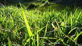 stock photo of marsh grass  - Fresh green leaves of spring grass sunset - JPG
