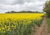 stock photo of track field  - A rapeseed field in Hampshire - JPG
