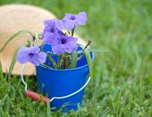 pic of petunia  - A straw hat behind a blue metal container filled with Mexican petunias - JPG